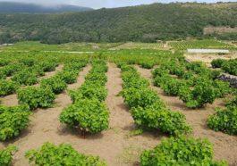αμπελωνες στην Pantelleria
